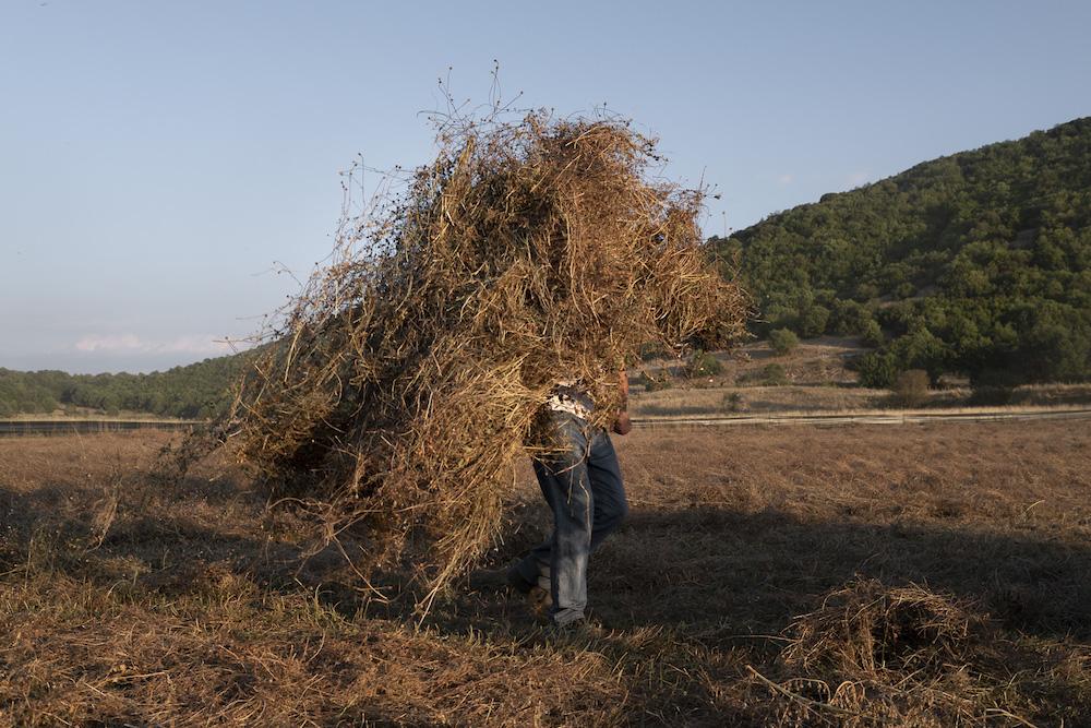 Raccolta di lenticchie biologiche nella pianura di Kato Pedina, vicino alle linee di ricerca di idrocarburi, nell'Epiro